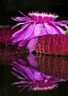 Die Blume - Garten La Mortella