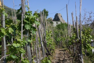 Weinreben mit Blick auf den Monte Epomeo