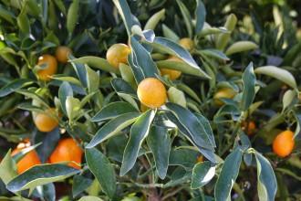 Orangenbaum auf Ischia