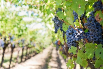 Land und Leute der Insel Ischia - Weintrauben und Weinernte