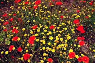 Die Blume auf Ischia